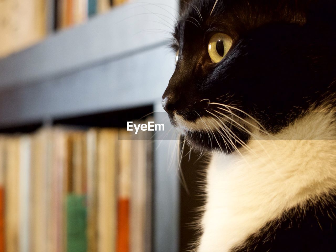 domestic, pets, mammal, domestic animals, cat, feline, animal themes, animal, one animal, domestic cat, vertebrate, whisker, indoors, close-up, no people, looking, looking away, focus on foreground, book, animal body part, animal head