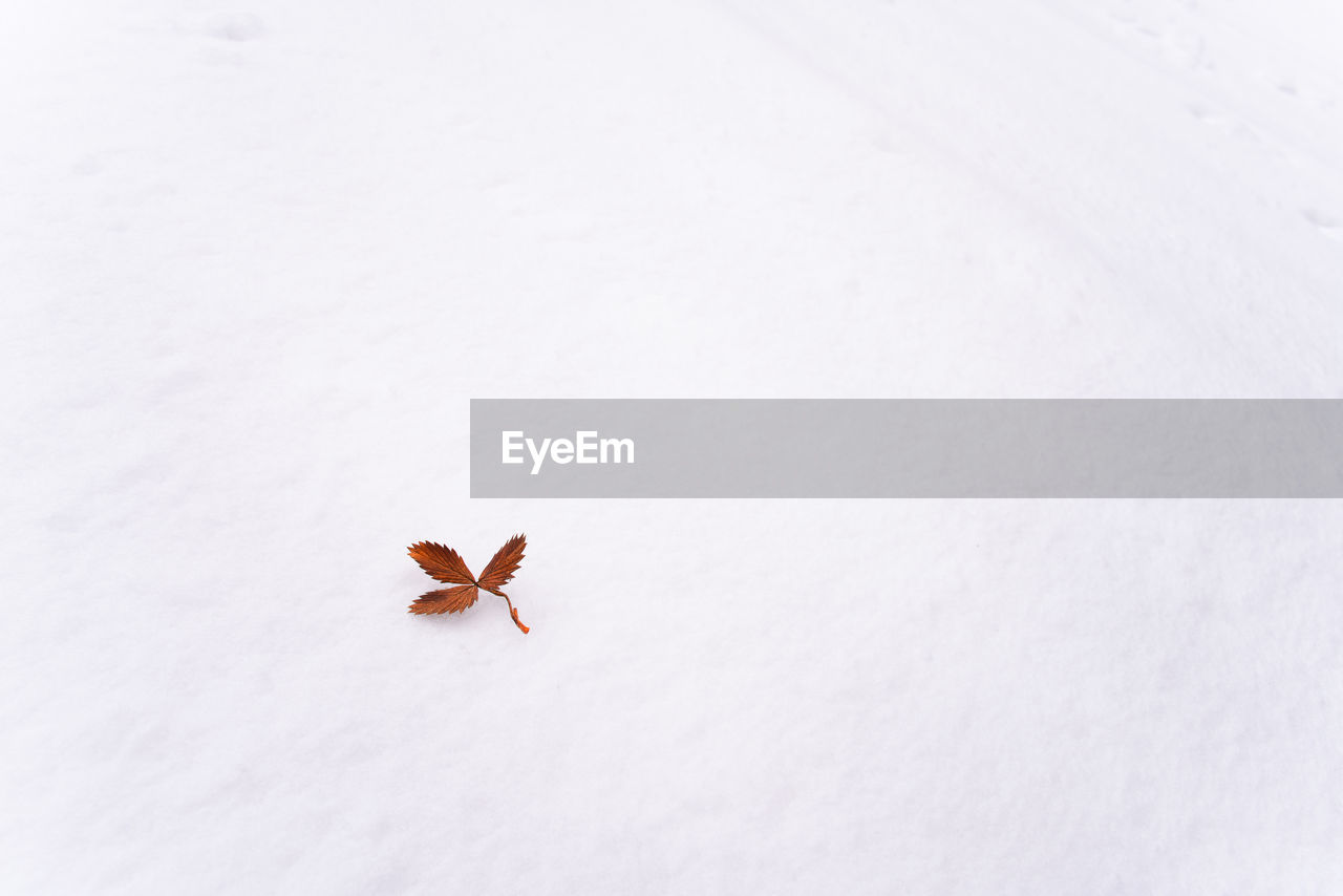 no people, snow, white color, cold temperature, winter, beauty in nature, nature, close-up, day, high angle view, copy space, white background, leaf, outdoors, plant part, fragility, insect, animals in the wild, vulnerability, flower