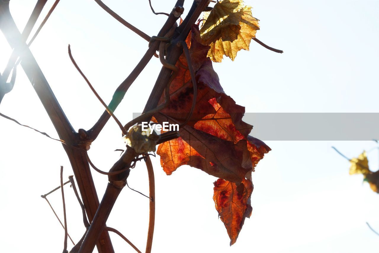 leaf, autumn, change, dry, nature, day, outdoors, no people, beauty in nature, clear sky, low angle view, maple, close-up, tree, maple leaf, branch, white background, sky, fragility