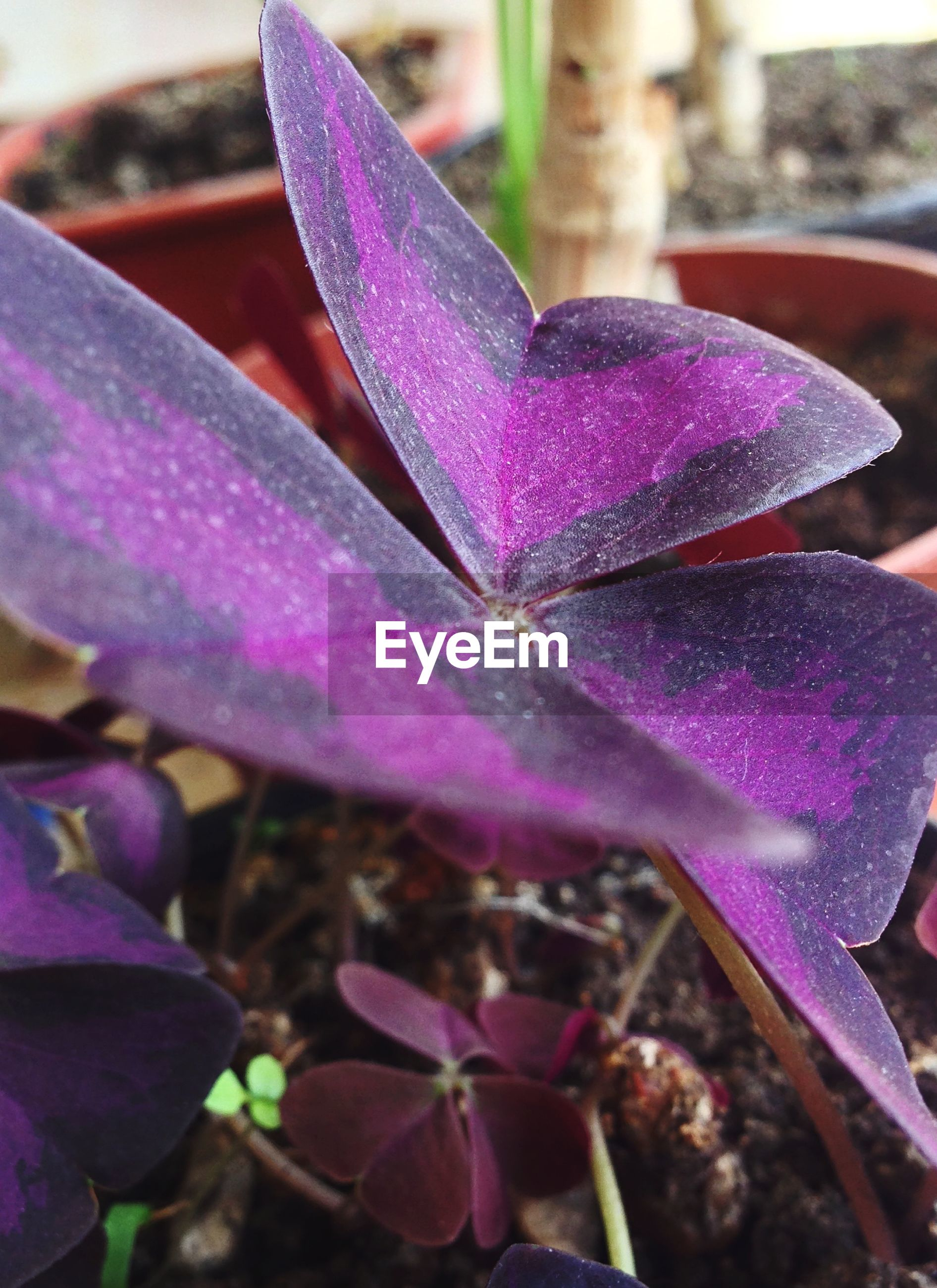 Purple leaves of plant