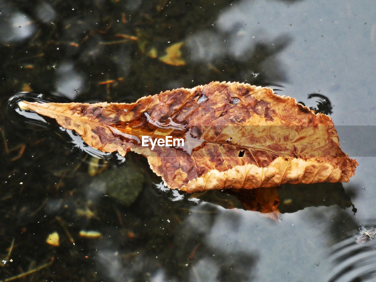 water, close-up, leaf, plant part, nature, food, food and drink, no people, day, high angle view, outdoors, lake, floating, orange color, change, reflection, floating on water, plant, leaves