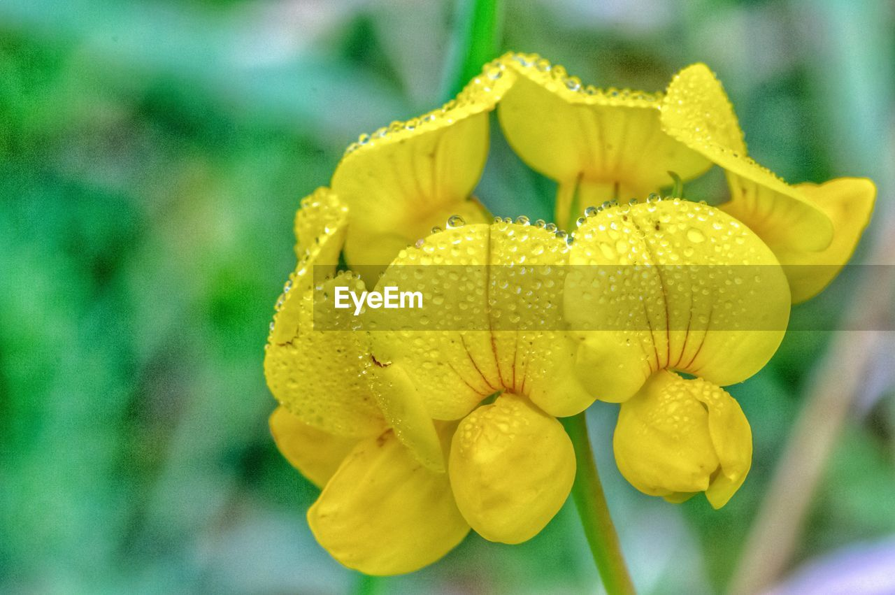 flower, petal, yellow, nature, beauty in nature, fragility, flower head, freshness, growth, plant, drop, wet, close-up, outdoors, day, no people, focus on foreground, blooming, water