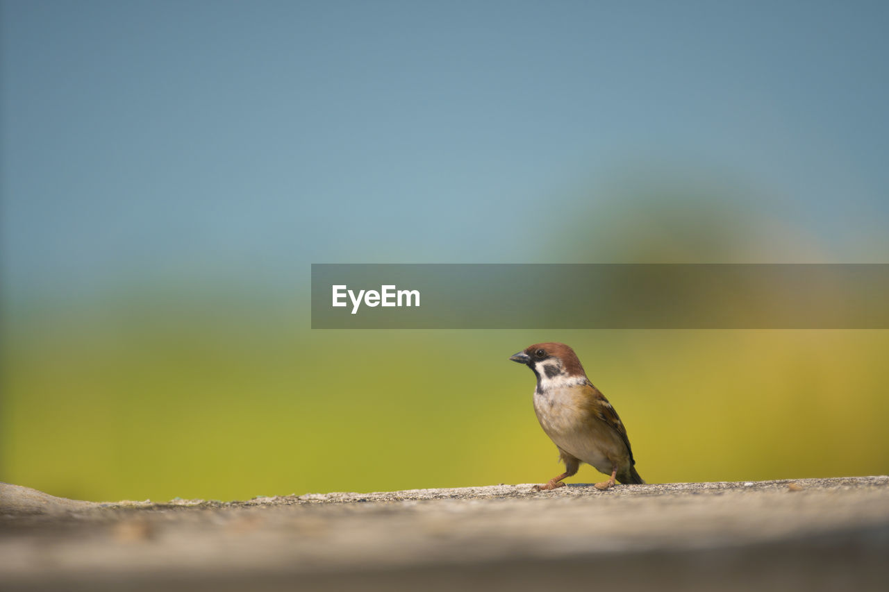 animals in the wild, animal themes, animal wildlife, bird, vertebrate, animal, one animal, selective focus, day, copy space, no people, perching, close-up, nature, outdoors, sparrow, focus on foreground, side view, wall, sunlight, mouth open