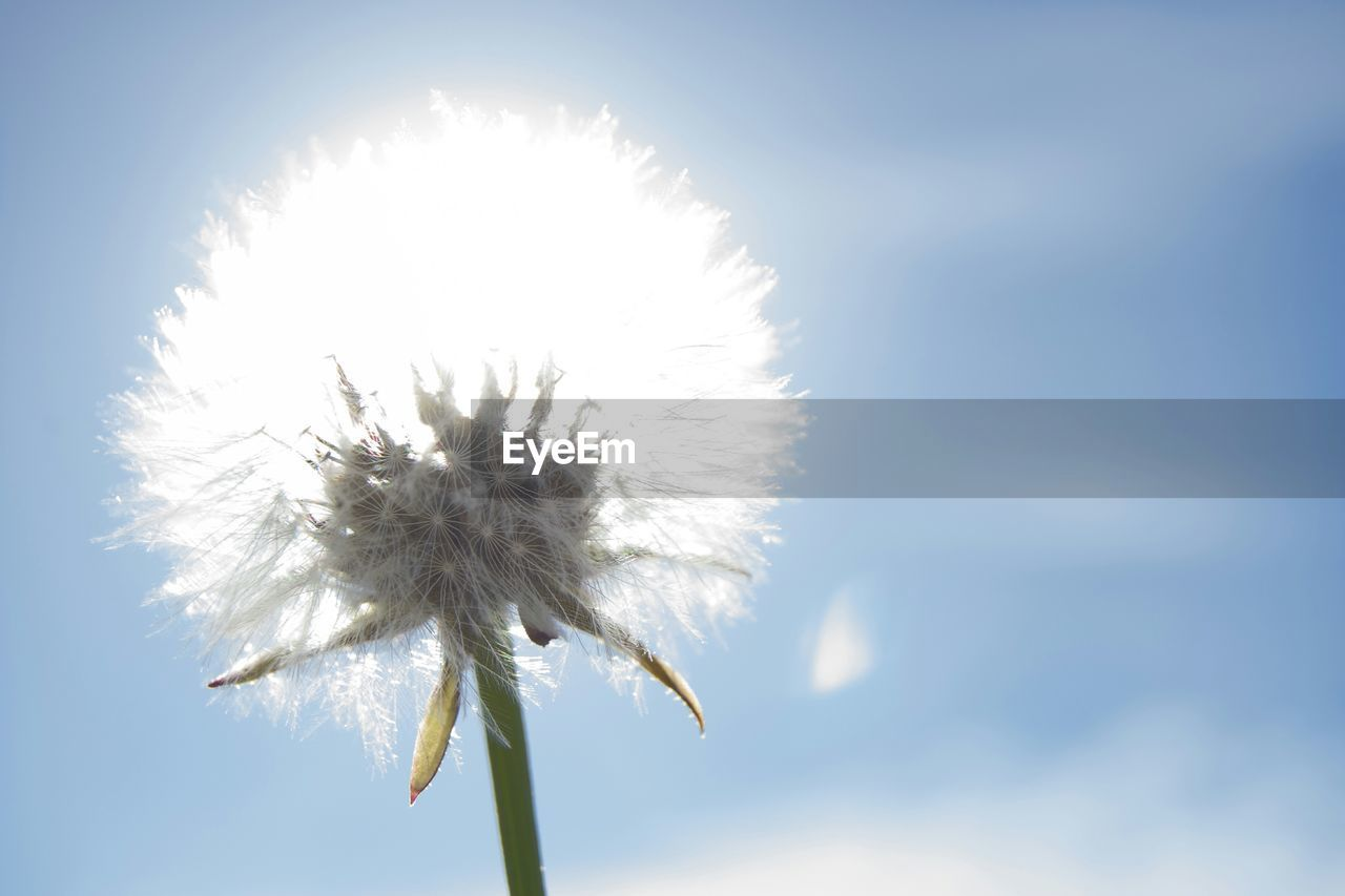 flower, nature, fragility, growth, beauty in nature, dandelion, plant, outdoors, freshness, day, close-up, flower head, sunlight, no people, sky, low angle view