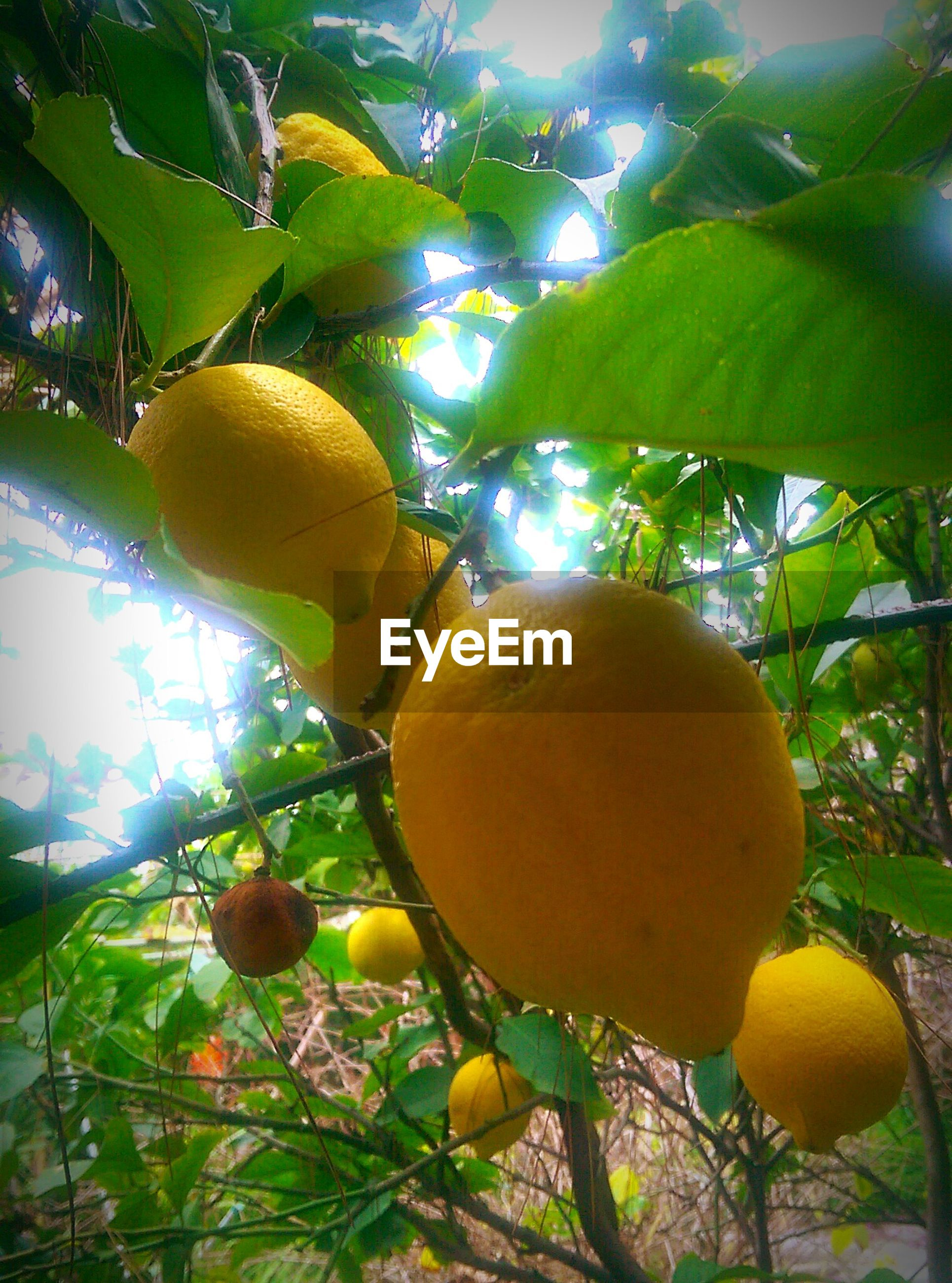 tree, fruit, food and drink, branch, growth, food, yellow, leaf, healthy eating, green color, low angle view, nature, close-up, freshness, citrus fruit, hanging, sunlight, agriculture, day, lemon