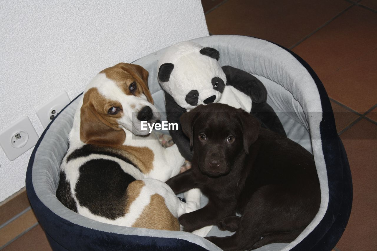 Funny two dogs next to a stuffed Panda bear indoor