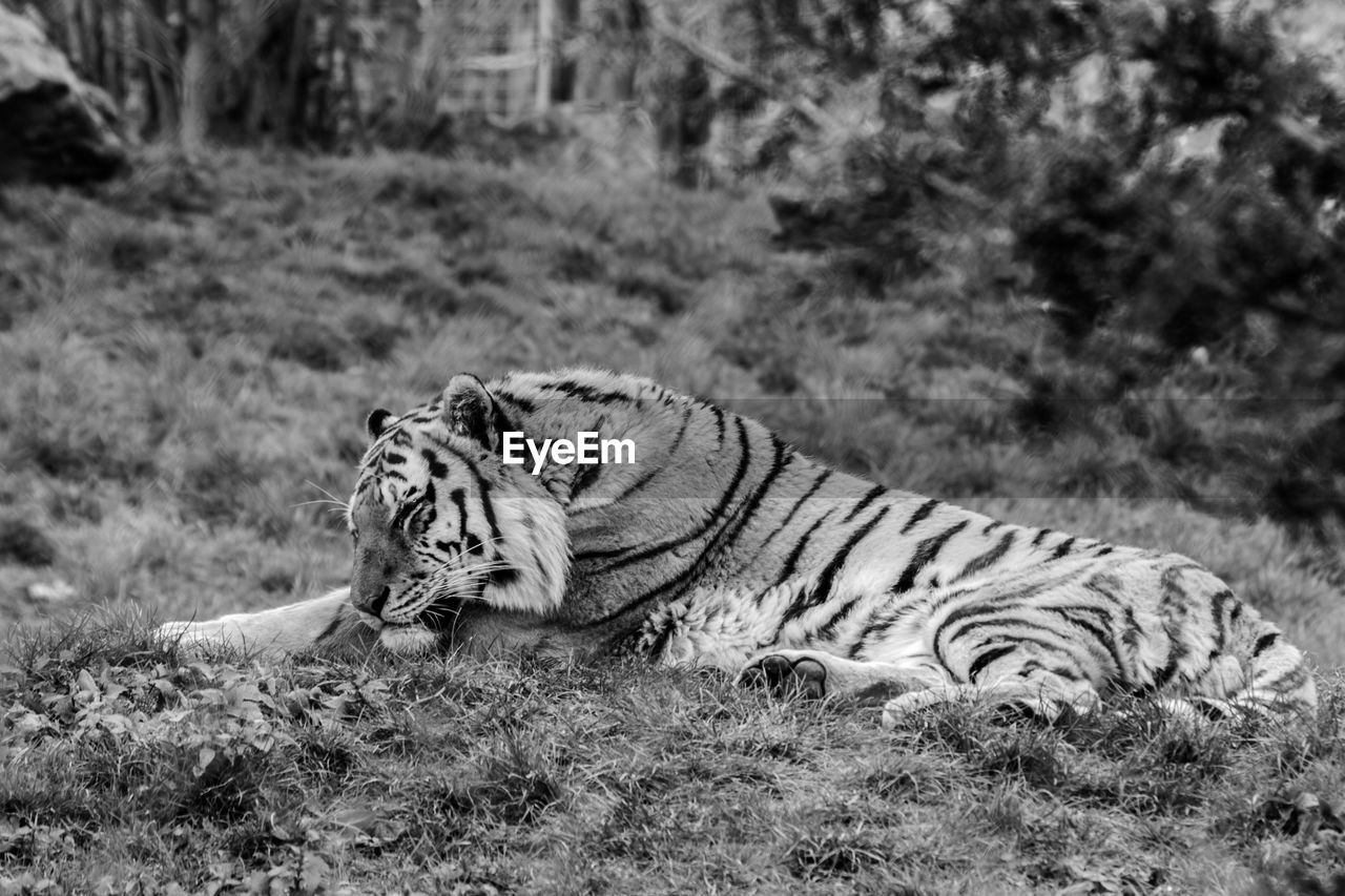 Tiger Lying On Field At Zoo