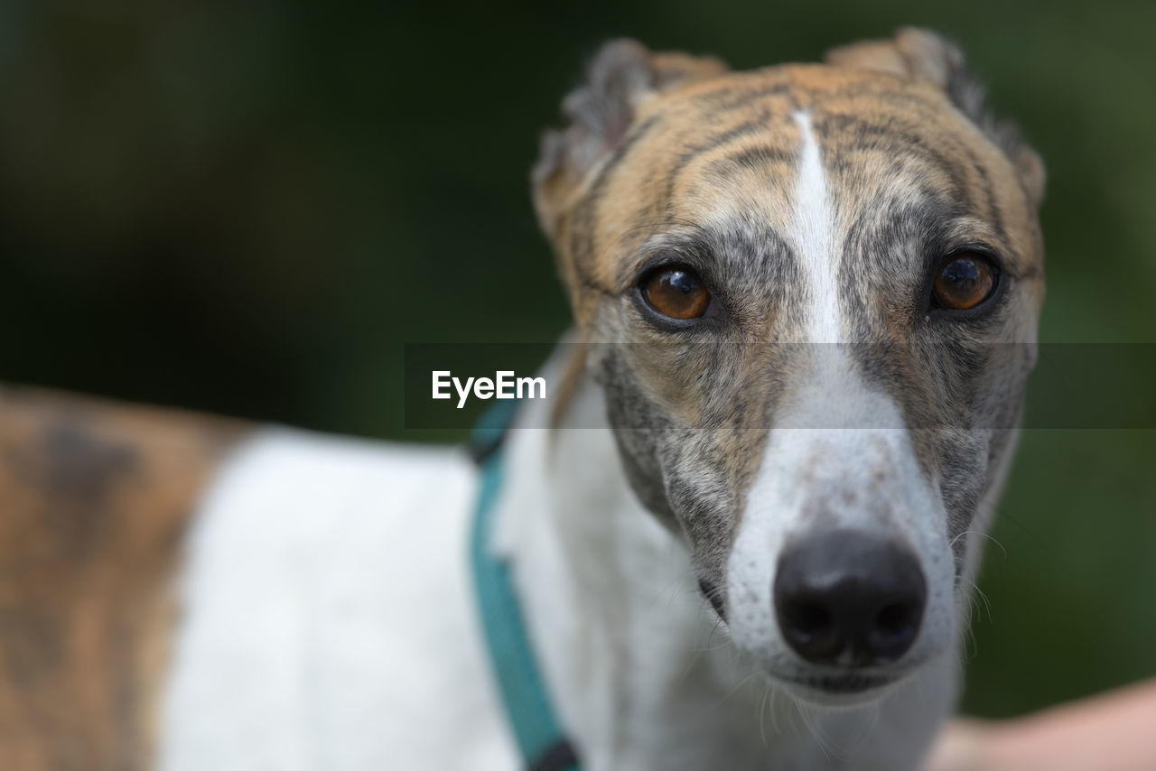 Looking directly at the camera, the symmetrical face patterning of this greyhound is visible