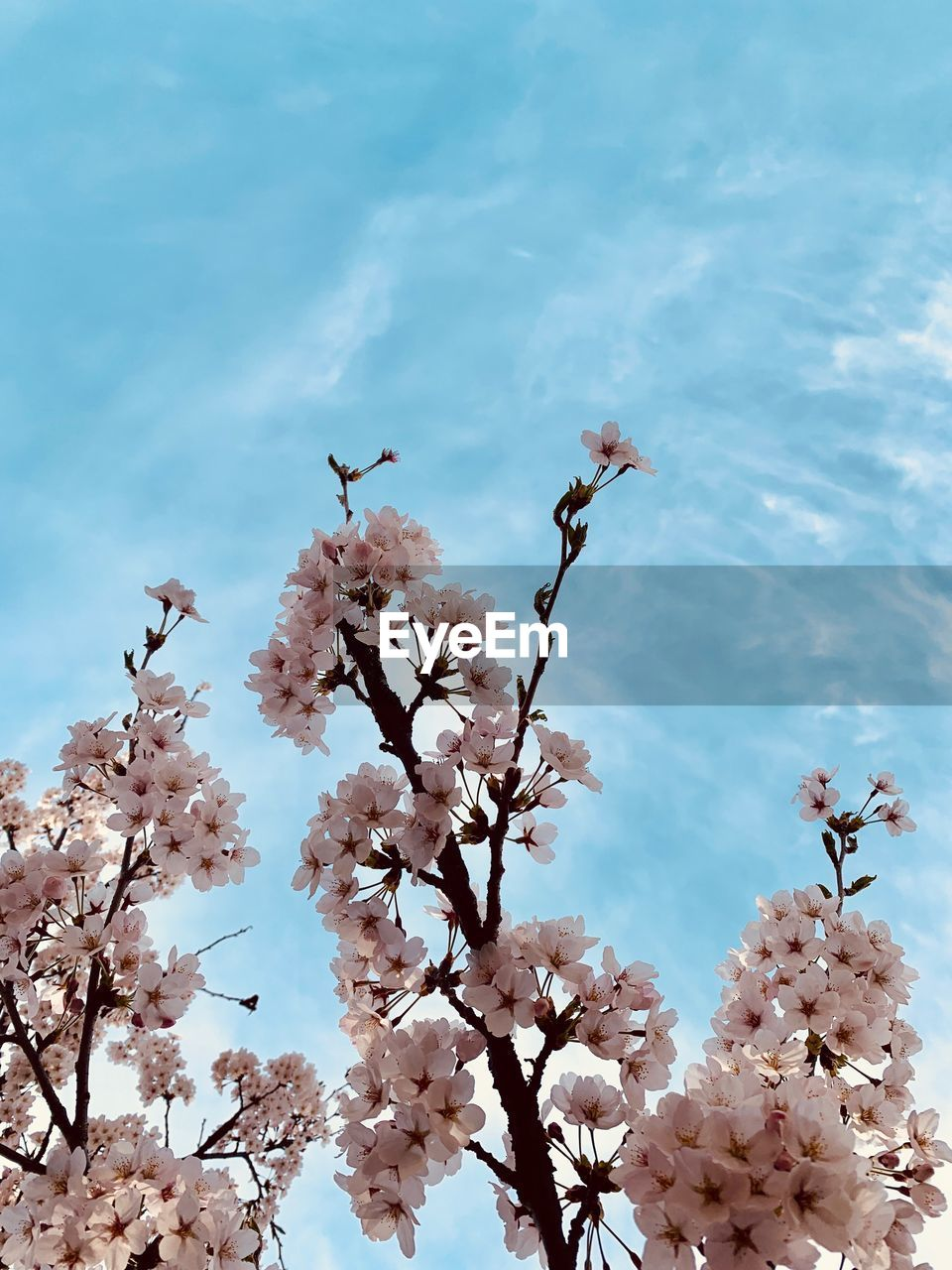 plant, flower, flowering plant, growth, fragility, vulnerability, beauty in nature, freshness, nature, tree, blossom, cloud - sky, springtime, sky, day, low angle view, no people, petal, branch, cherry blossom, outdoors, flower head, cherry tree