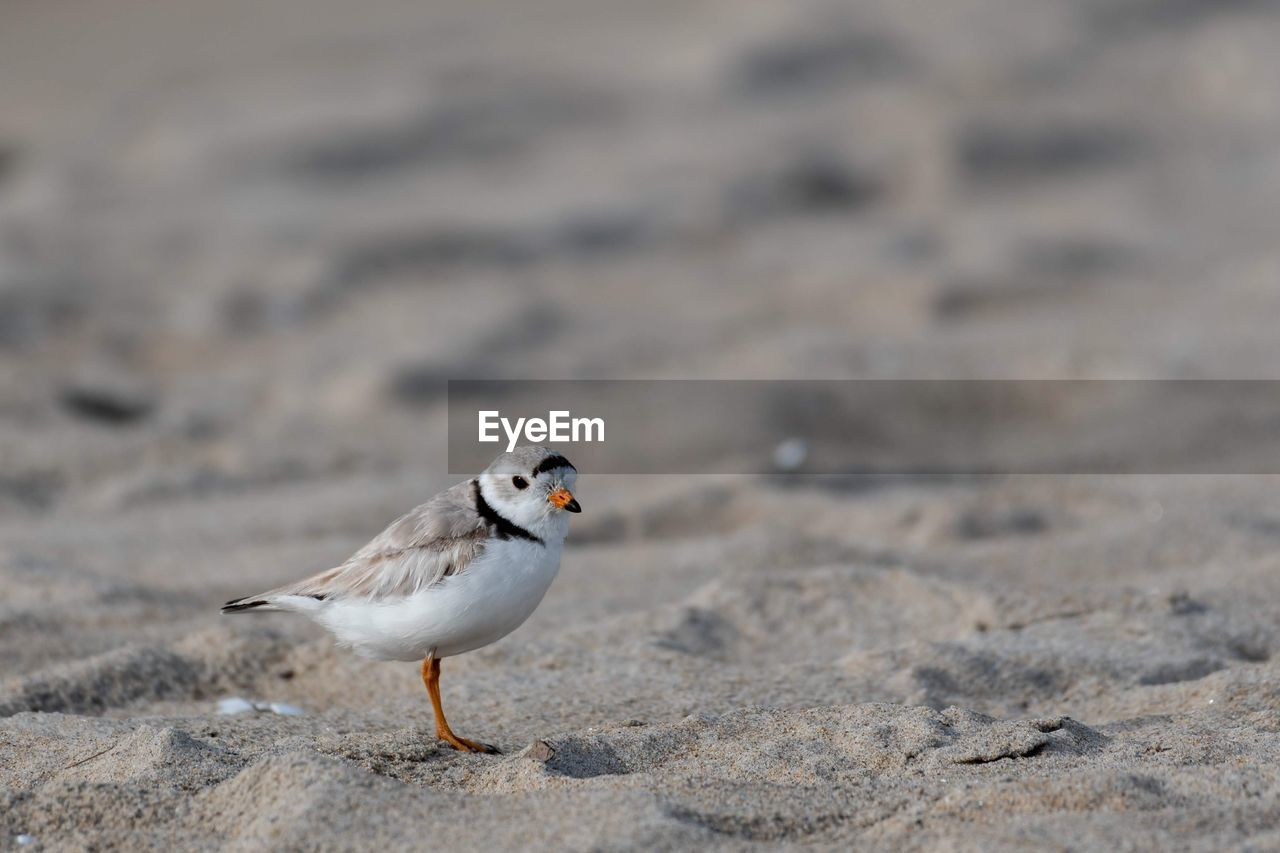 animal, animal themes, bird, animal wildlife, one animal, vertebrate, animals in the wild, day, land, no people, nature, selective focus, perching, focus on foreground, sand, outdoors, close-up, sunlight, beach, zoology