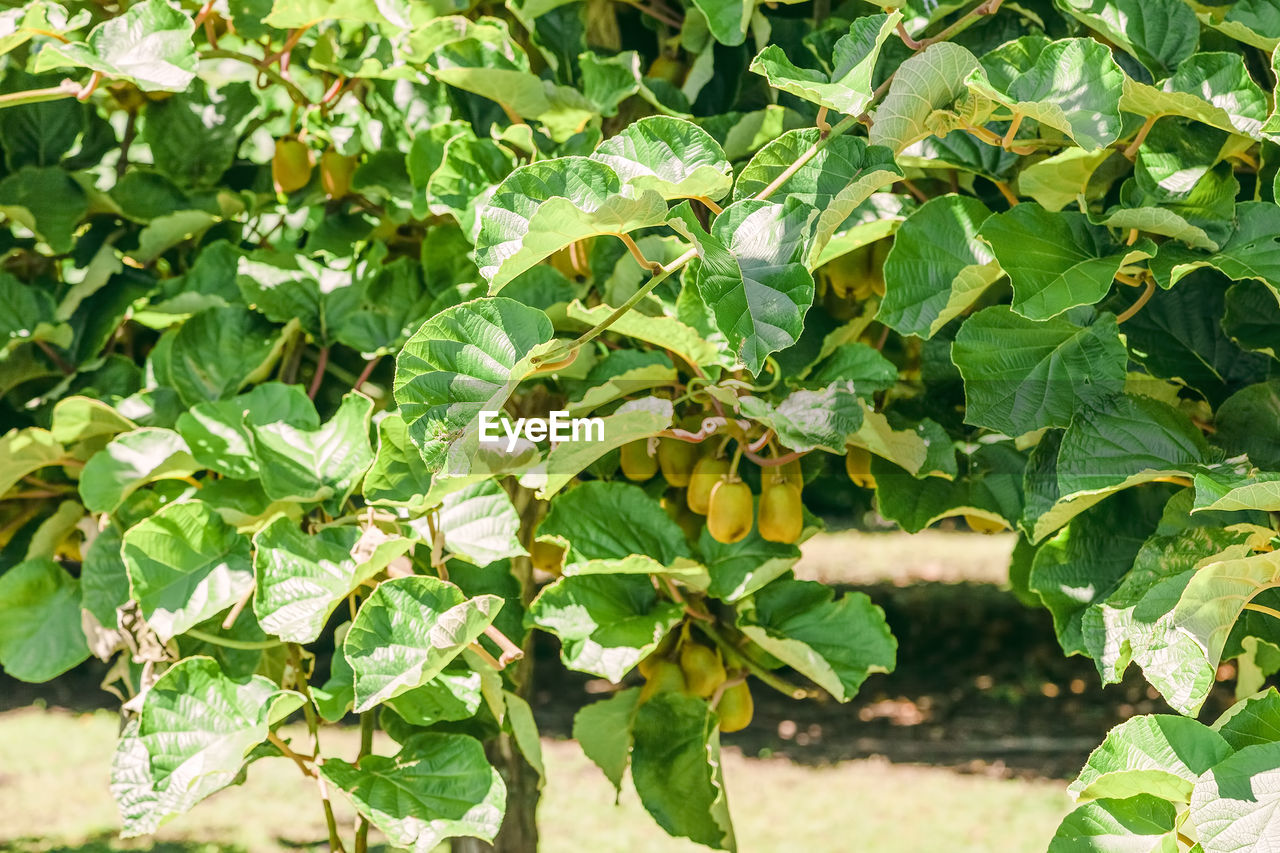 leaf, plant part, growth, green color, plant, nature, day, beauty in nature, no people, close-up, freshness, sunlight, food and drink, healthy eating, food, focus on foreground, outdoors, fruit, tree, wellbeing
