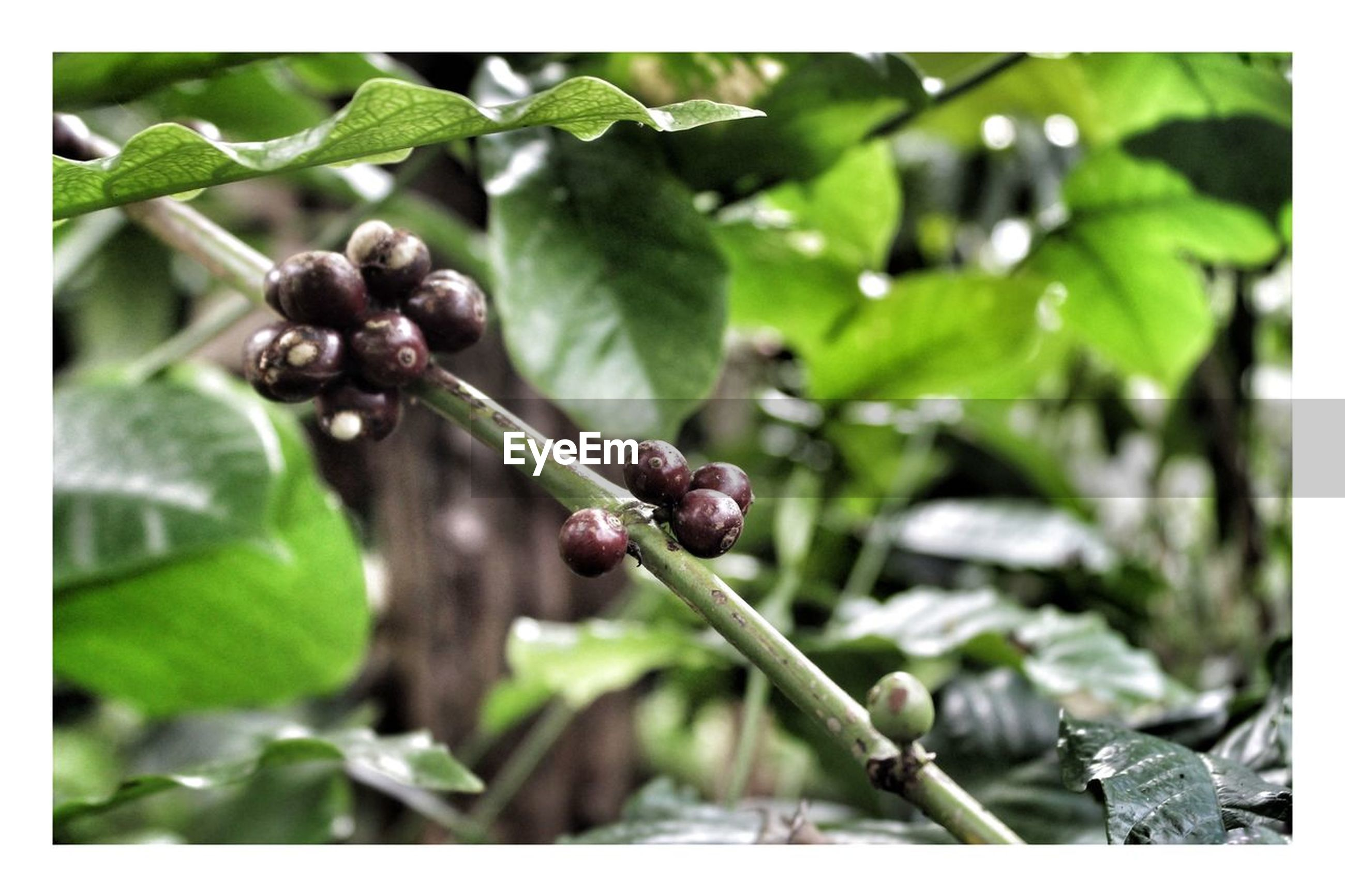 leaf, plant, plant part, growth, transfer print, focus on foreground, close-up, auto post production filter, green color, nature, fruit, no people, day, freshness, food and drink, food, healthy eating, plant stem, tree, beauty in nature, outdoors, ripe