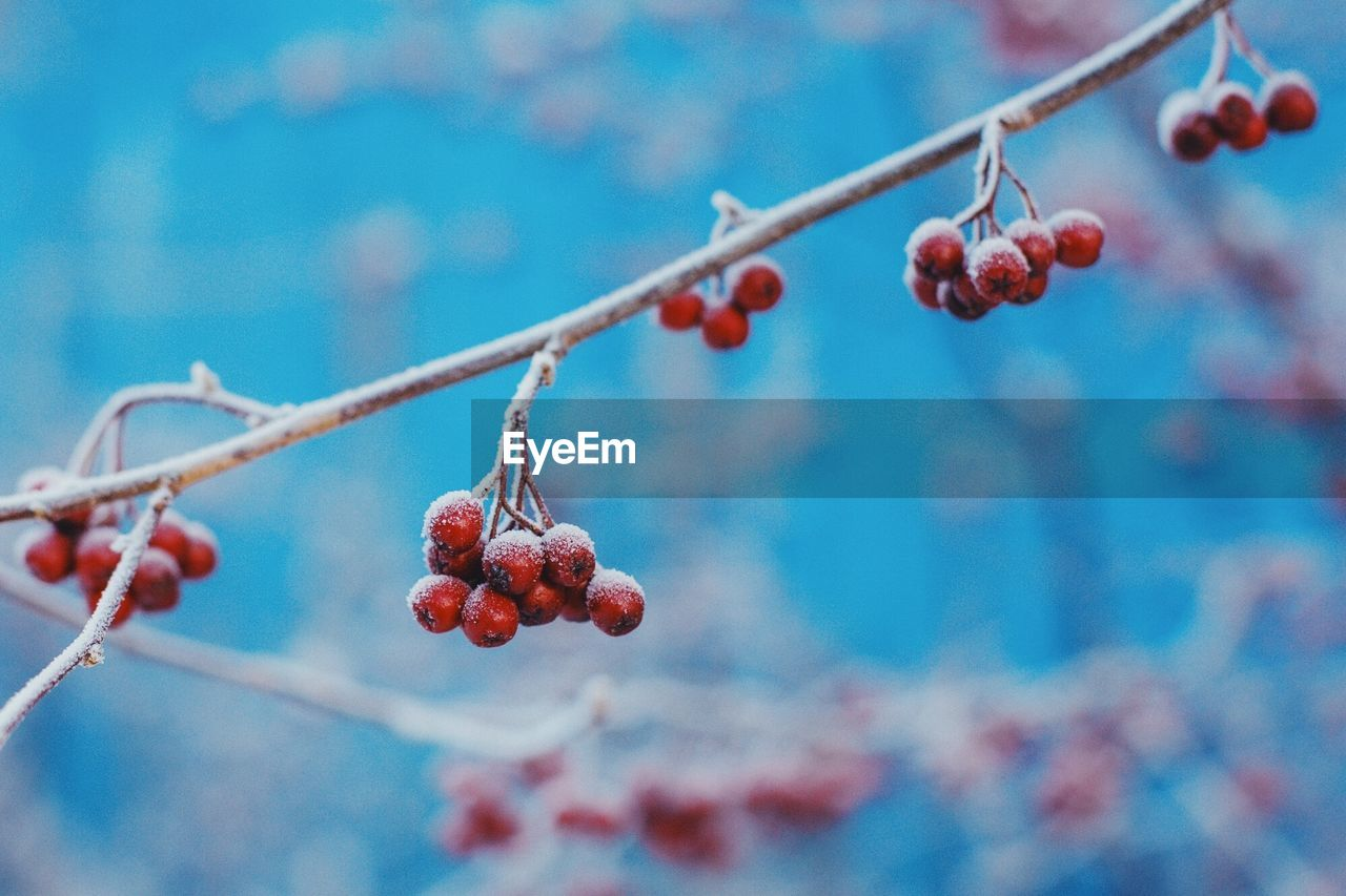 fruit, red, food and drink, berry fruit, focus on foreground, outdoors, rowanberry, growth, day, nature, growing, freshness, food, beauty in nature, ripe, rose hip, healthy eating, no people, twig, low angle view, close-up, tree, branch, water, sky