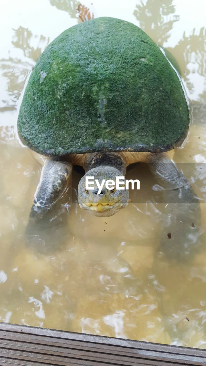 water, green color, animal themes, animals in the wild, one animal, nature, animal wildlife, reptile, close-up, no people, day, swimming, outdoors, food