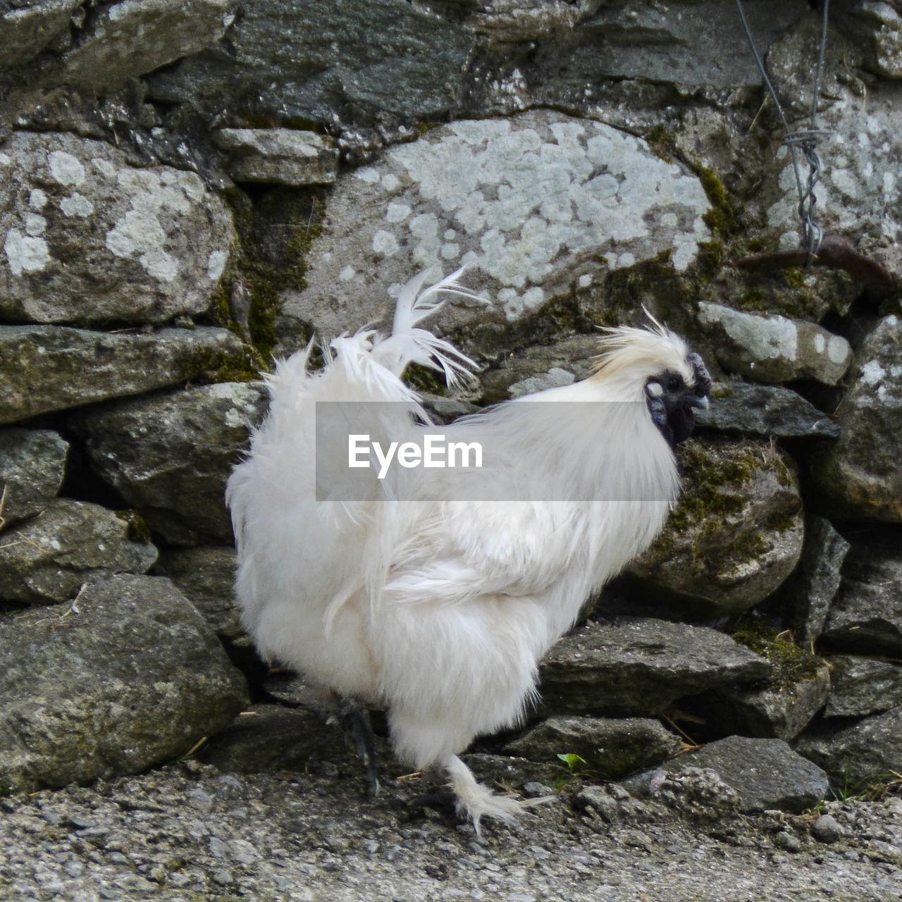 Close-up of white bird on rock
