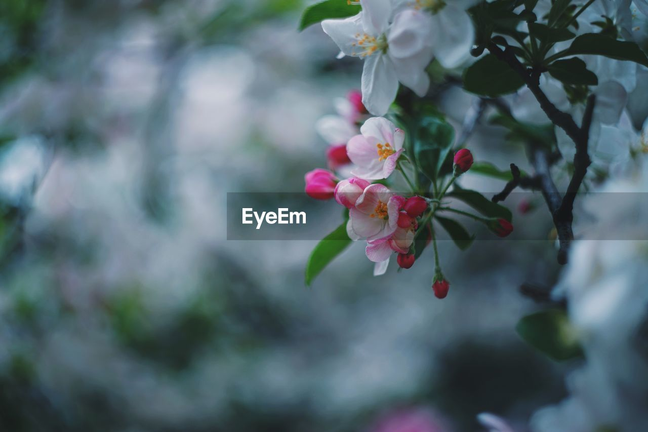 flower, flowering plant, plant, fragility, beauty in nature, freshness, vulnerability, growth, petal, close-up, day, pink color, focus on foreground, nature, tree, inflorescence, blossom, flower head, no people, selective focus, outdoors, springtime, cherry blossom, cherry tree