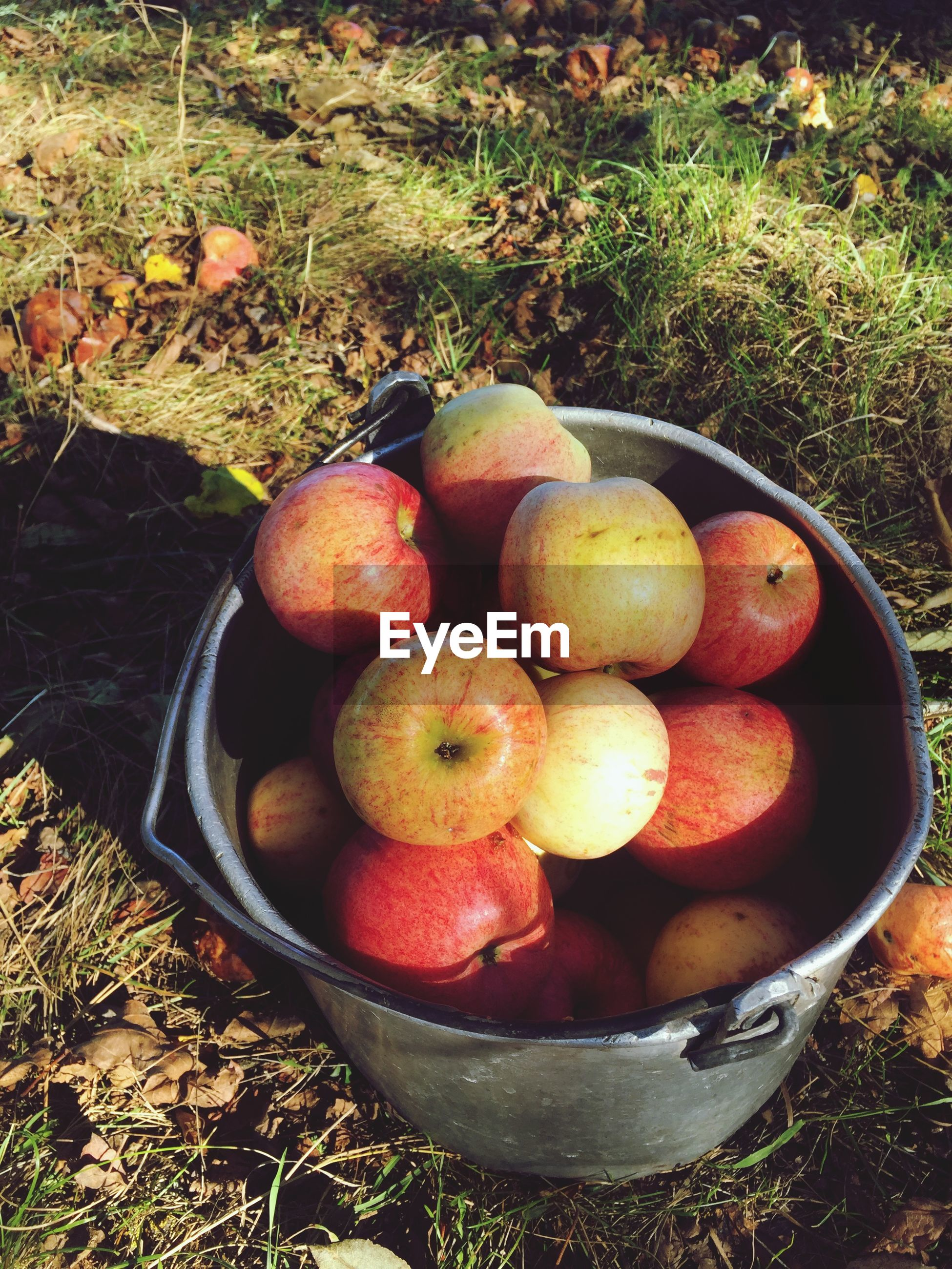 High angle view of apples in bucket on grass