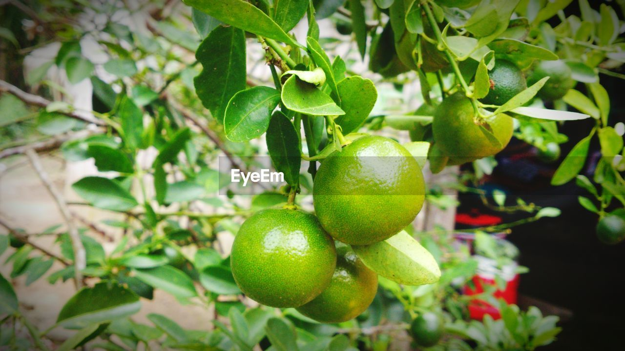 fruit, food and drink, growth, leaf, freshness, green color, healthy eating, food, citrus fruit, tree, no people, day, nature, outdoors, close-up, agriculture, branch, beauty in nature