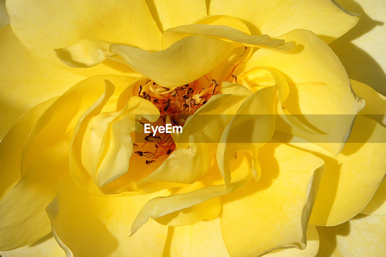 flower, petal, yellow, fragility, full frame, flower head, beauty in nature, backgrounds, nature, no people, close-up, freshness, growth, springtime, outdoors, day
