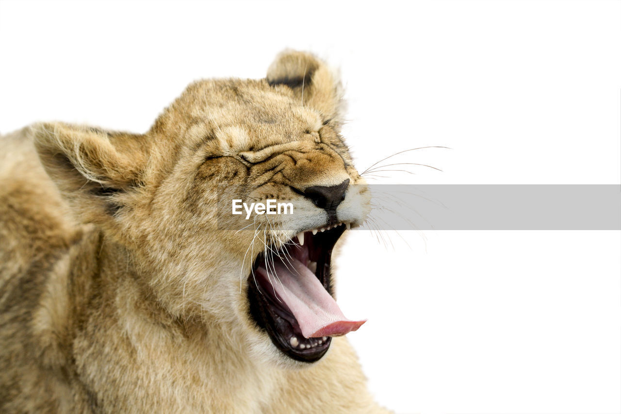 animal, animal themes, mammal, cat, feline, studio shot, animal wildlife, mouth open, mouth, lion - feline, white background, one animal, animals in the wild, animal body part, no people, roaring, close-up, anger, animal head, indoors, animal teeth, aggression, animal mouth, whisker