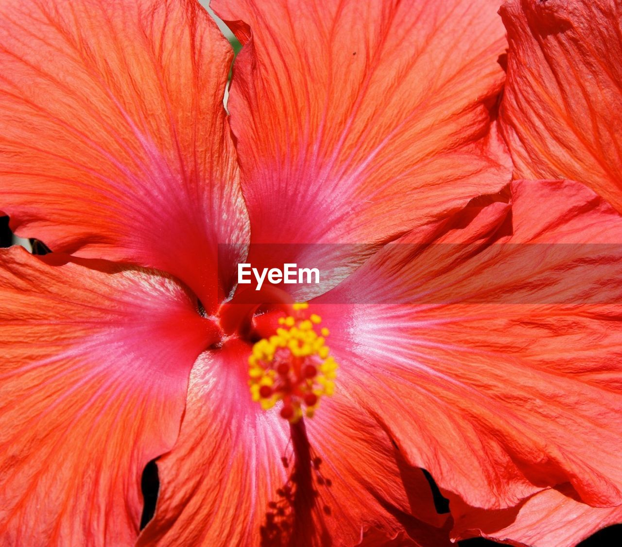 Close-Up Of Red Hibiscus