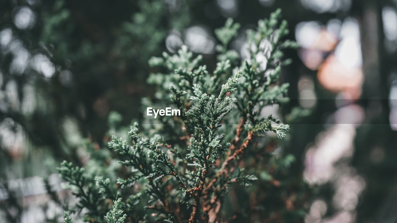 plant, growth, selective focus, tree, nature, day, close-up, no people, beauty in nature, green color, focus on foreground, outdoors, tranquility, leaf, winter, cold temperature, branch, coniferous tree, plant part, fir tree, pine tree, lichen