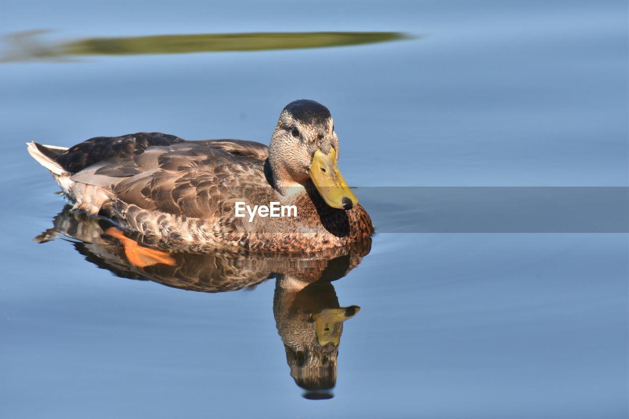 Close-Up Of Mallard Duck Swimming In Lake