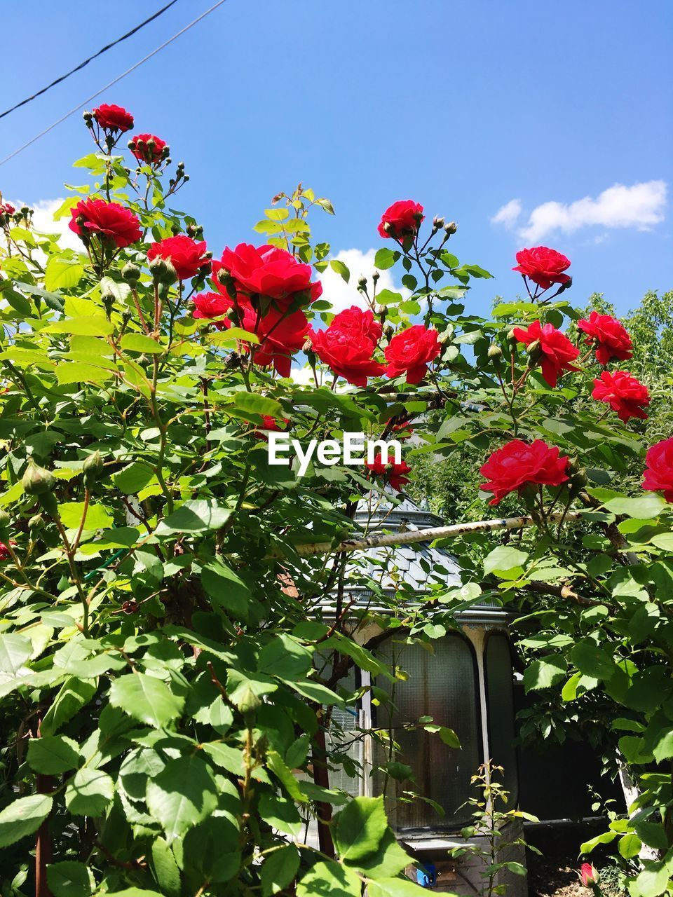 plant, flower, flowering plant, growth, freshness, red, nature, beauty in nature, sky, vulnerability, plant part, low angle view, leaf, fragility, day, green color, no people, petal, close-up, outdoors, flower head