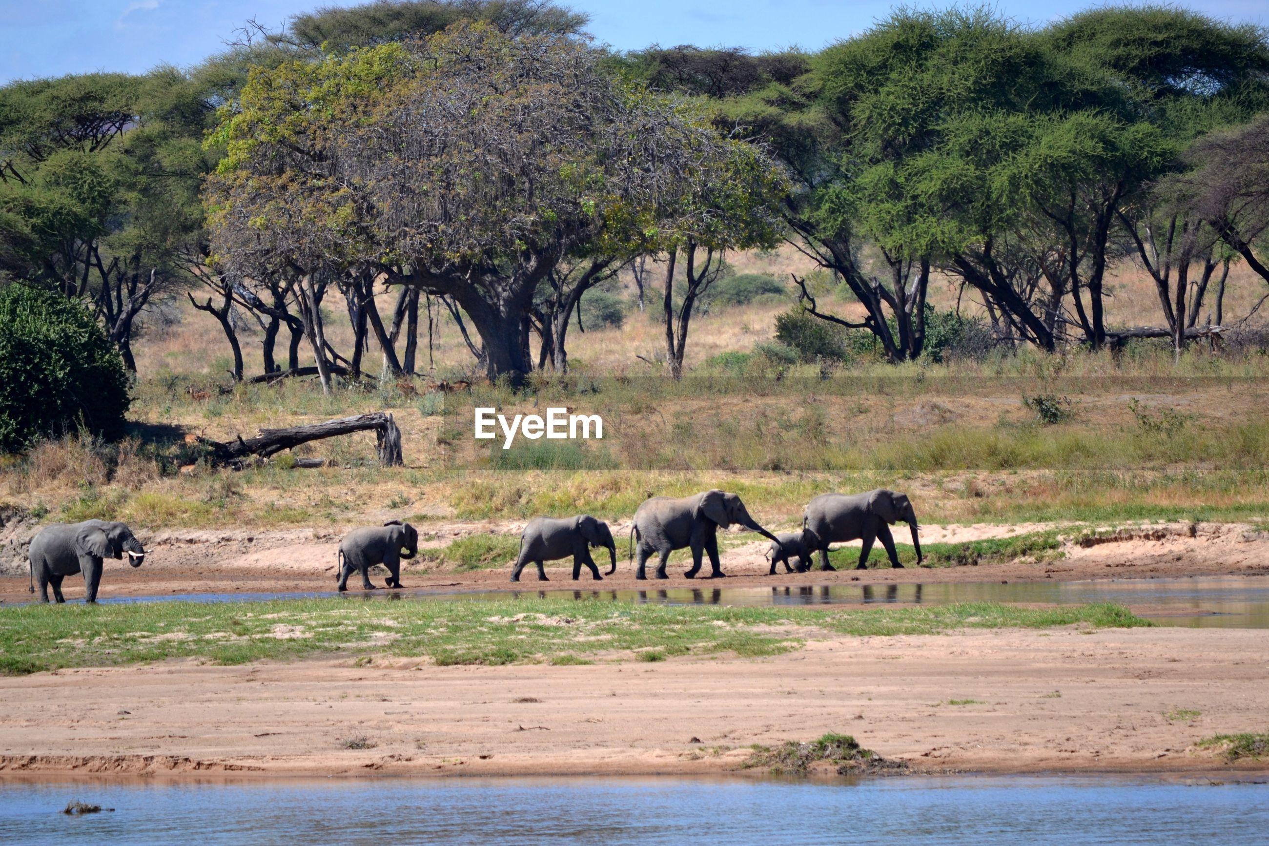 Elephants walking on land against trees