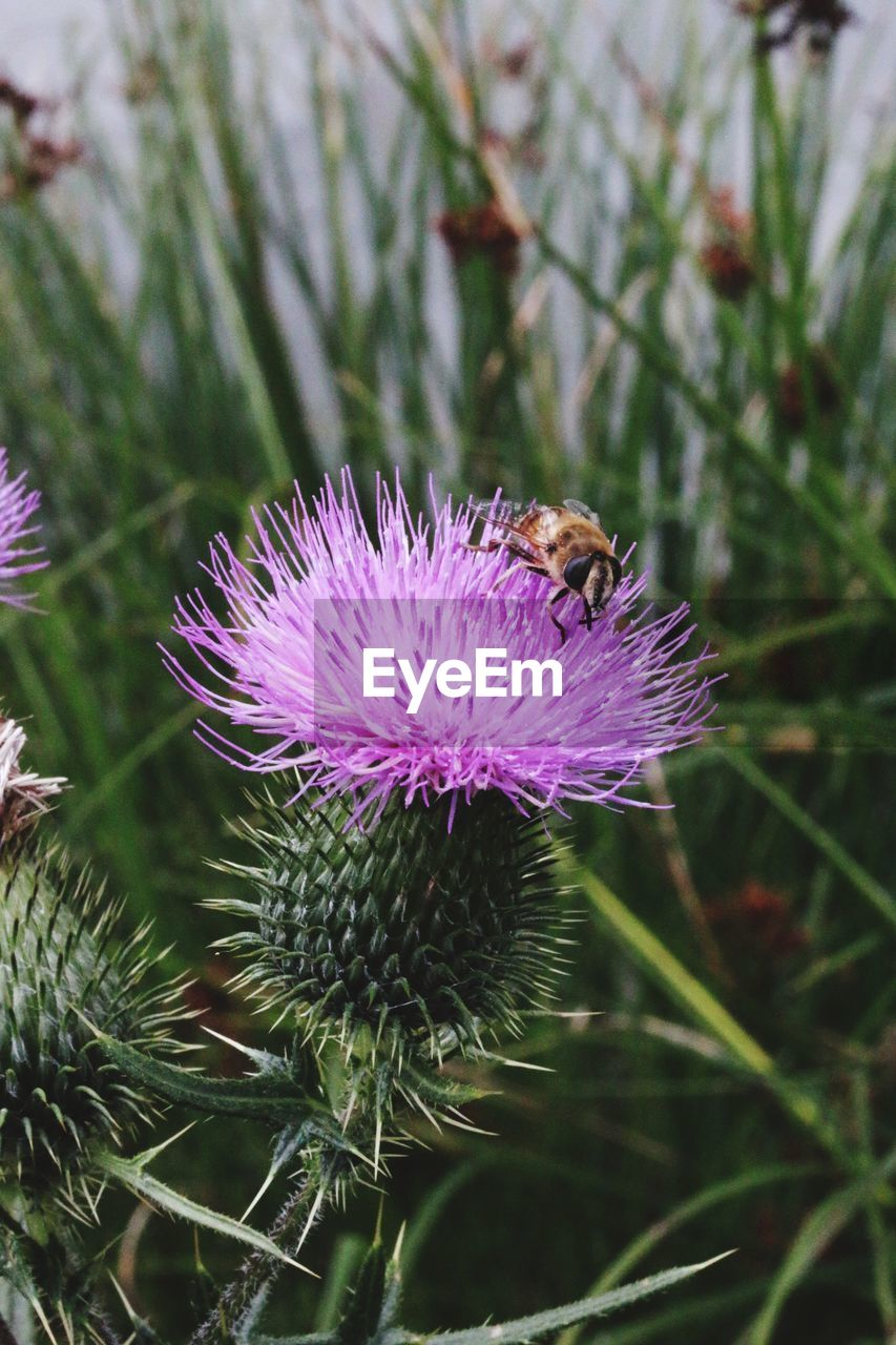 CLOSE-UP OF BEE POLLINATING ON PURPLE THISTLE