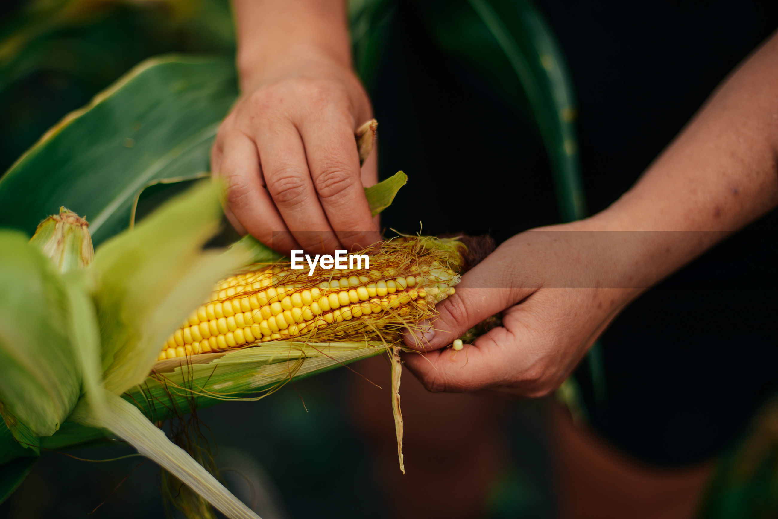 Cropped hands of woman picking corn in garden