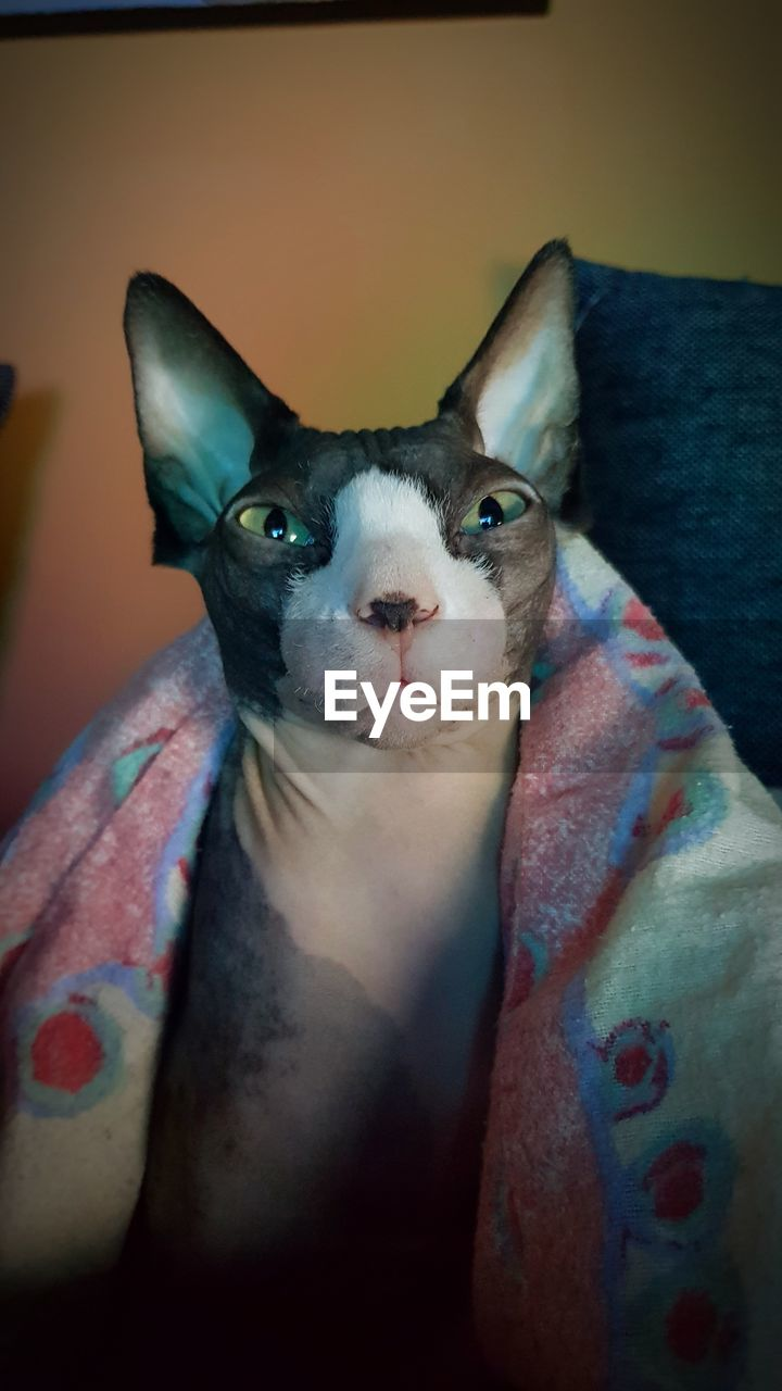 pets, domestic animals, domestic, mammal, one animal, vertebrate, domestic cat, indoors, cat, portrait, feline, looking at camera, close-up, front view, people, home interior, animal body part, whisker, animal eye