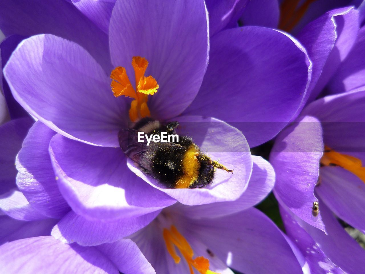 flowering plant, flower, petal, fragility, vulnerability, freshness, flower head, growth, plant, close-up, beauty in nature, inflorescence, bee, nature, invertebrate, animal, animals in the wild, purple, animal themes, animal wildlife, no people, pollen, pollination, crocus, bumblebee