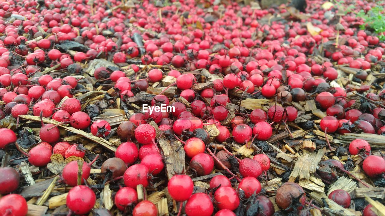 High angle view of berries on ground