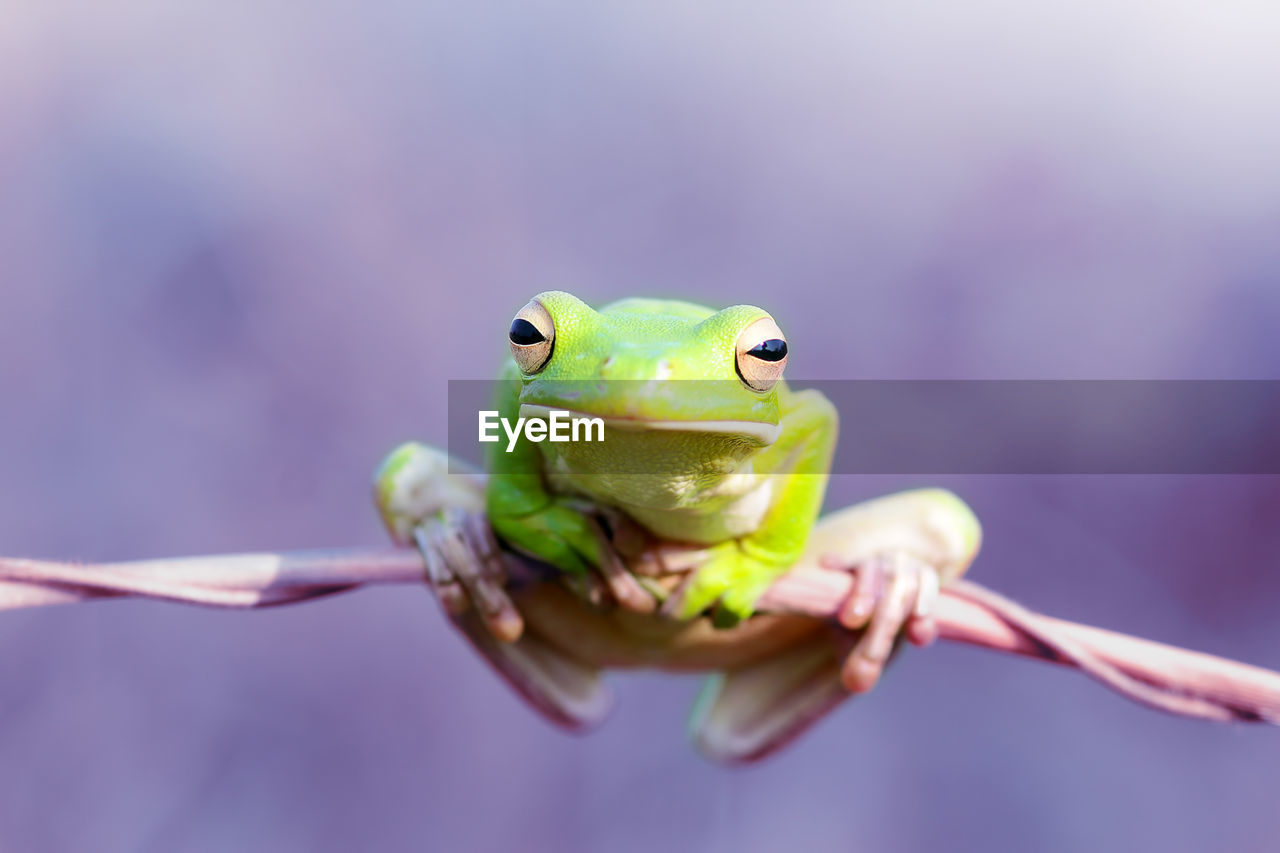 animal themes, one animal, focus on foreground, close-up, animal, animals in the wild, vertebrate, animal wildlife, green color, reptile, day, amphibian, holding, frog, human hand, outdoors, front view, selective focus, animal eye, animal head