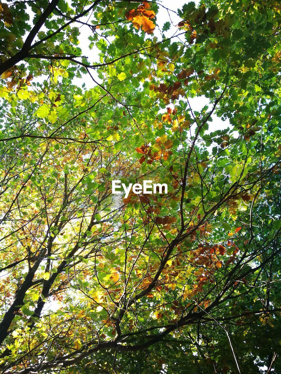 tree, low angle view, nature, growth, branch, beauty in nature, green color, outdoors, day, no people, leaf, fruit, freshness, foliage, sky