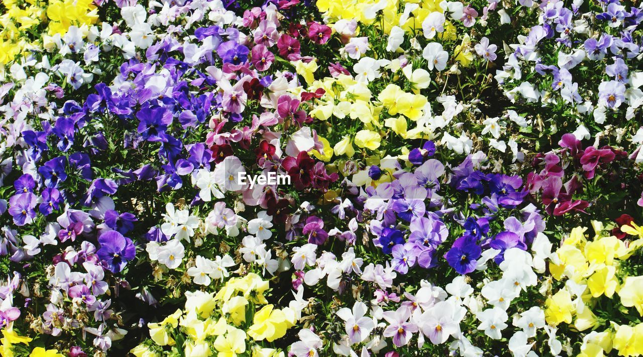 flower, growth, purple, nature, fragility, freshness, beauty in nature, petal, plant, blossom, blooming, yellow, pansy, no people, outdoors, multi colored, day, flower head