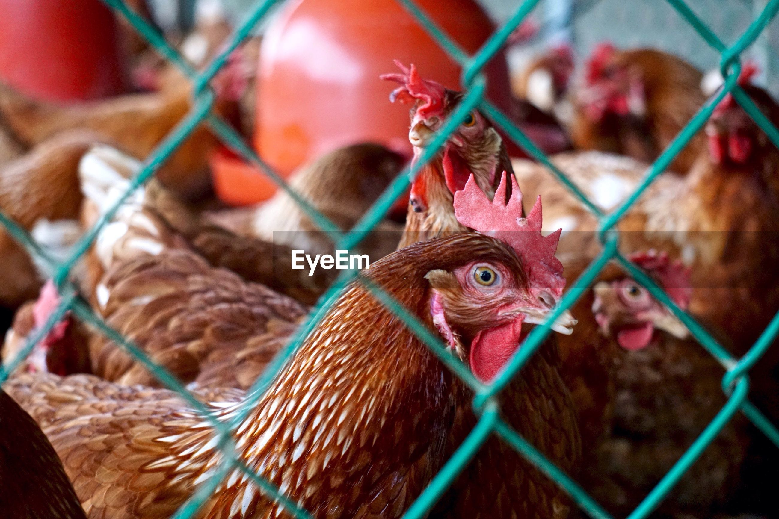 Chickens behind chainlink fence in poultry farm