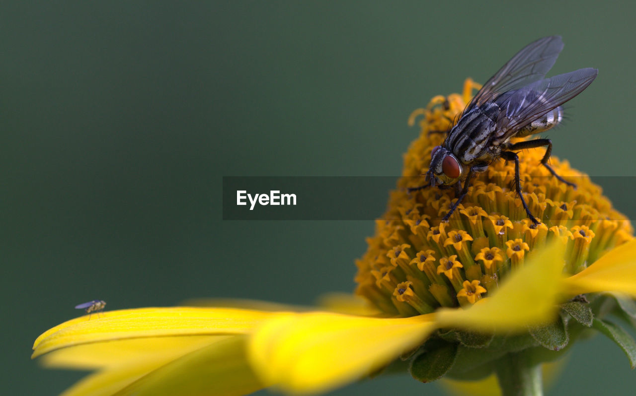 Close-up of two flies on yellow flower watching eachother