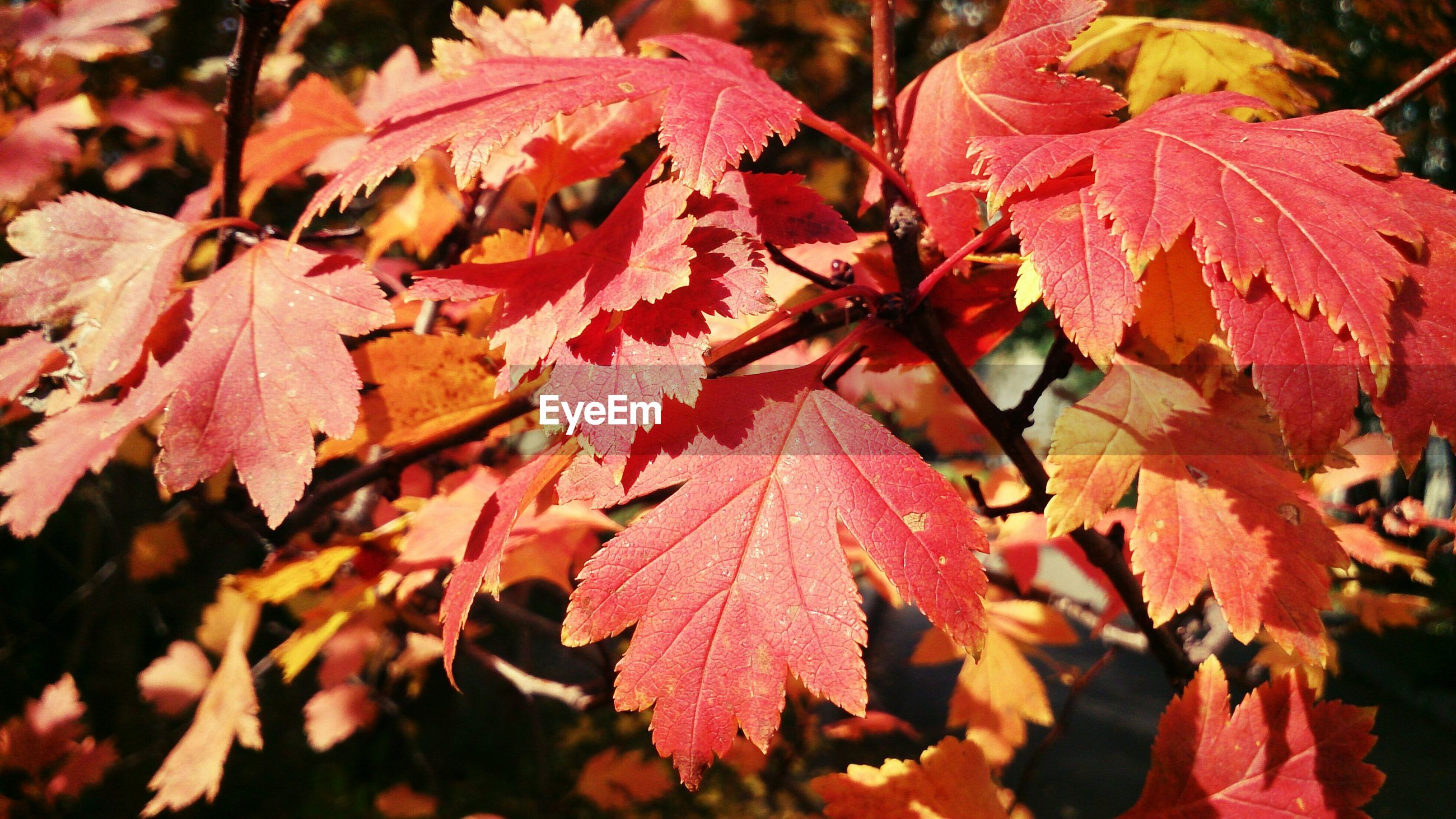 leaf, autumn, change, season, leaves, nature, close-up, red, growth, focus on foreground, beauty in nature, maple leaf, leaf vein, branch, tree, tranquility, selective focus, day, outdoors, no people