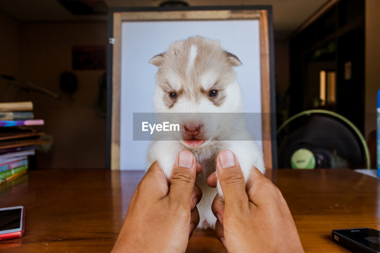domestic, pets, mammal, domestic animals, one animal, human hand, one person, human body part, hand, real people, indoors, vertebrate, holding, home interior, young animal, focus on foreground, lifestyles, pet owner, finger