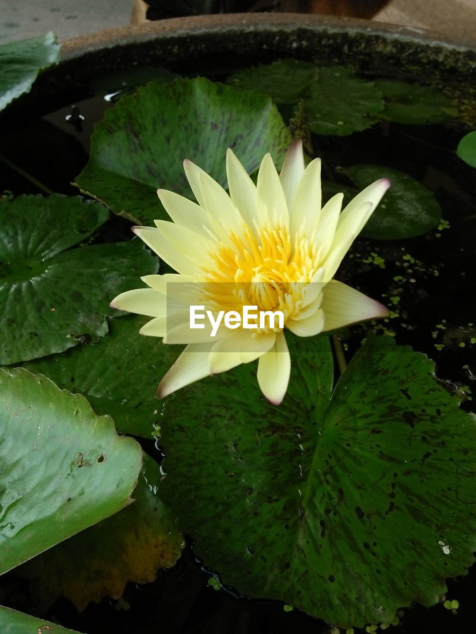 flower, leaf, beauty in nature, petal, freshness, nature, fragility, growth, flower head, water lily, plant, lotus water lily, no people, lily pad, outdoors, floating on water, water, day, close-up, green color, lotus, yellow, blooming