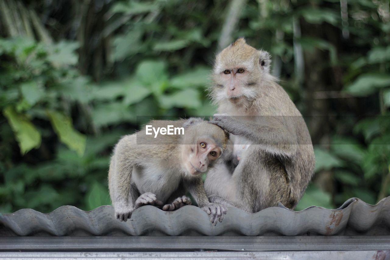 Monkeys looking at camera