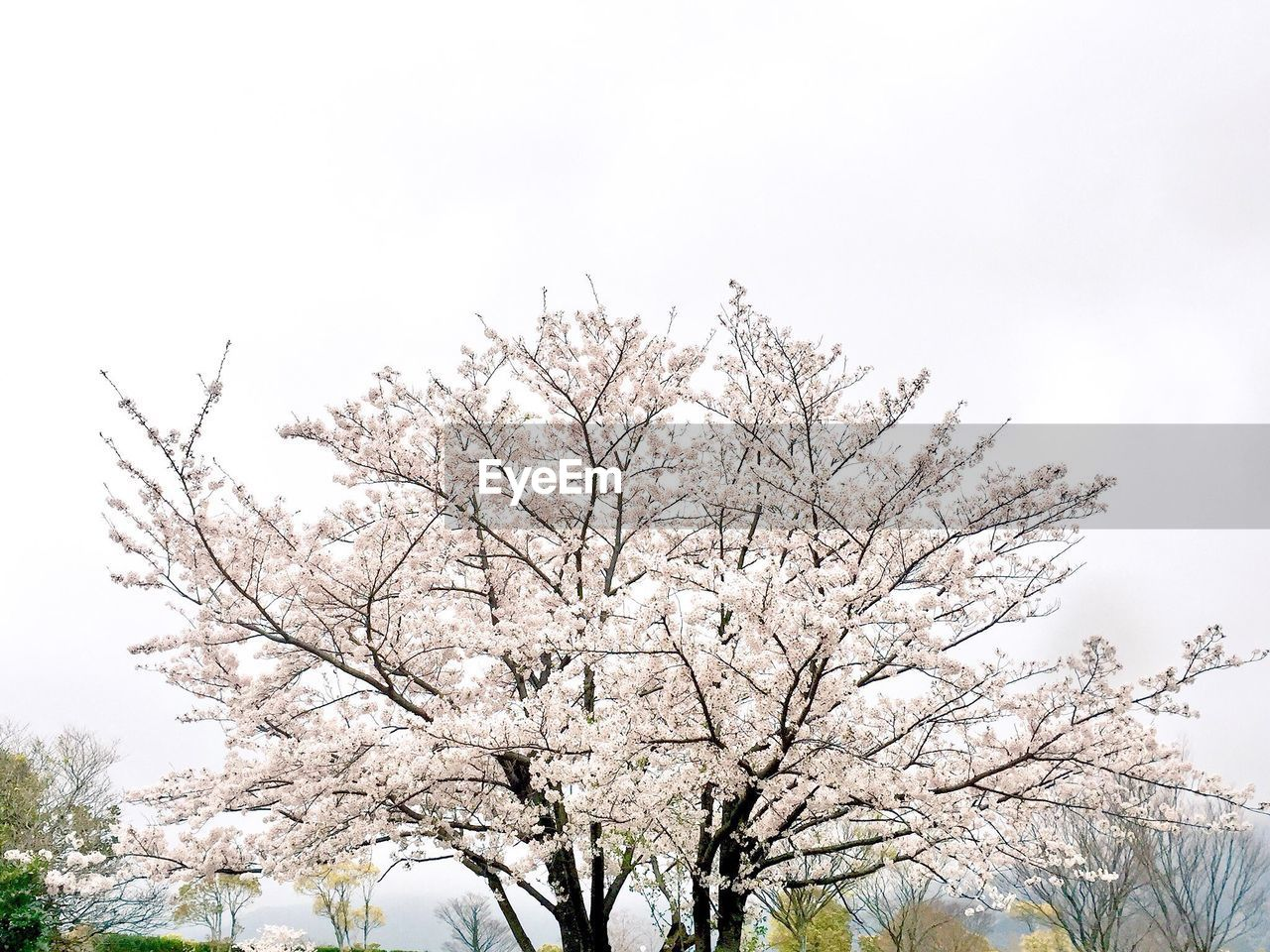 tree, branch, low angle view, nature, beauty in nature, flower, no people, day, clear sky, freshness, sky, outdoors, bare tree, growth, scenics, fragility