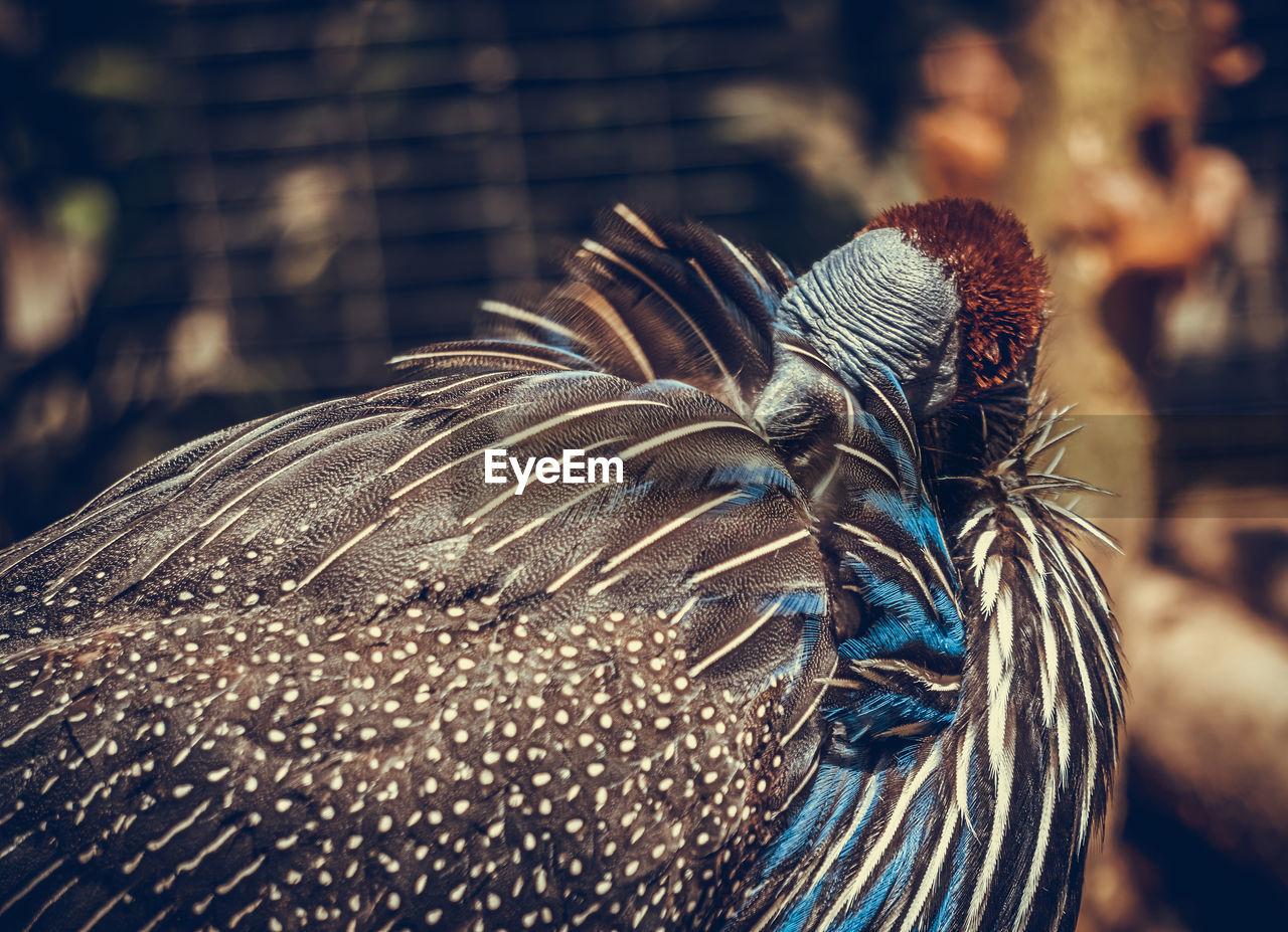 Vulturine guinea fowl preening