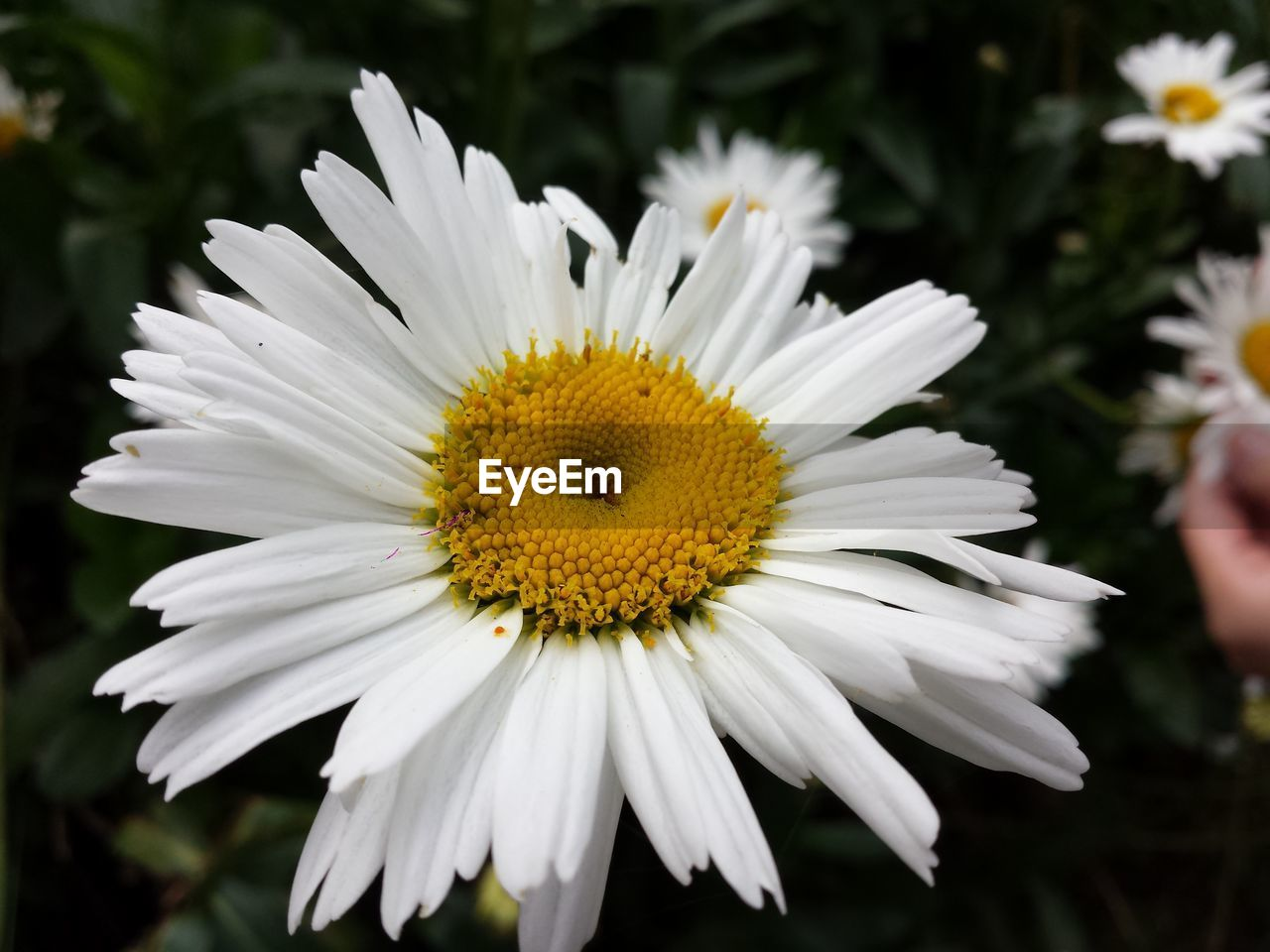 flower, petal, fragility, white color, nature, flower head, growth, beauty in nature, freshness, pollen, no people, close-up, focus on foreground, outdoors, blooming, plant, yellow, day, animal themes