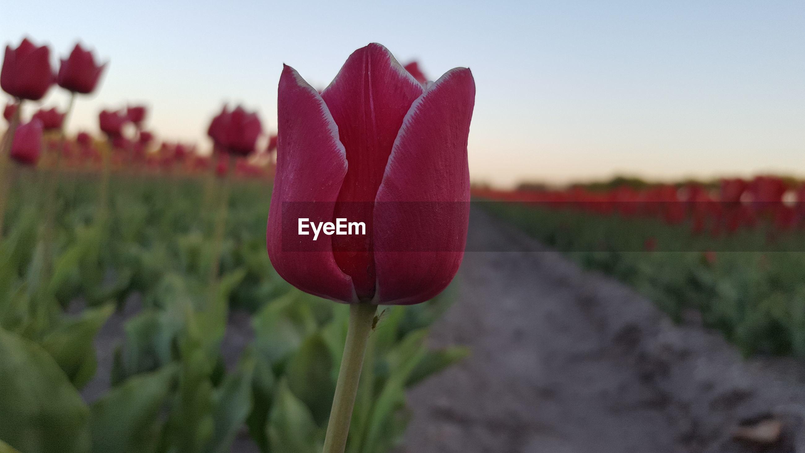 CLOSE-UP OF PURPLE TULIP FLOWER ON FIELD
