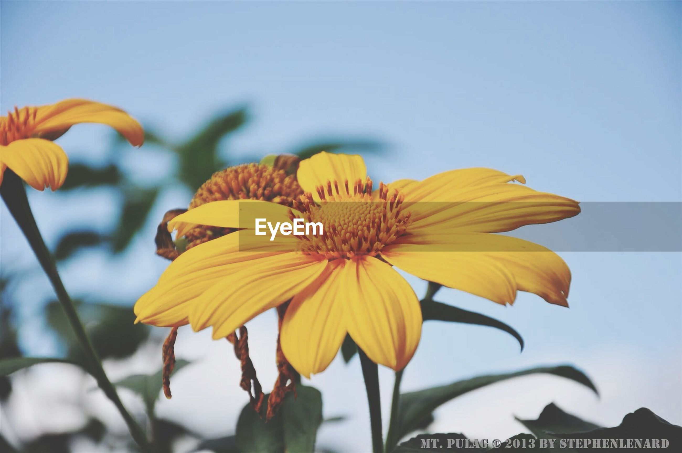 flower, petal, freshness, yellow, flower head, fragility, growth, focus on foreground, beauty in nature, close-up, blooming, plant, nature, stem, pollen, clear sky, sunflower, in bloom, single flower, sky