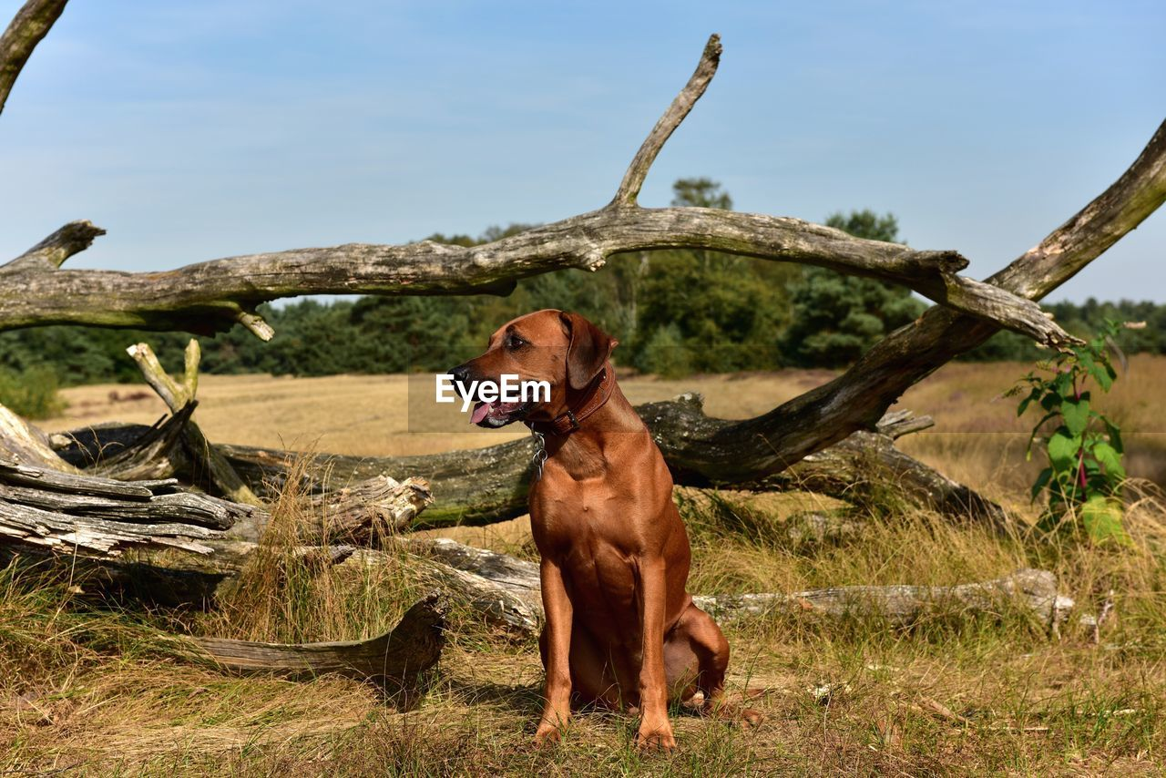 one animal, dog, canine, mammal, pets, animal themes, domestic animals, animal, domestic, vertebrate, plant, day, nature, tree, no people, land, looking away, brown, looking, sky
