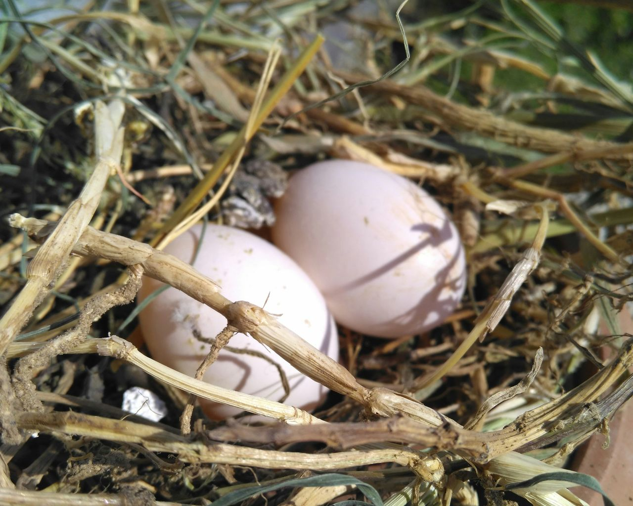 egg, animal egg, animal nest, food, food and drink, nature, beginnings, no people, new life, vulnerability, close-up, bird nest, fragility, nest egg, day, plant, high angle view, bird, outdoors, straw